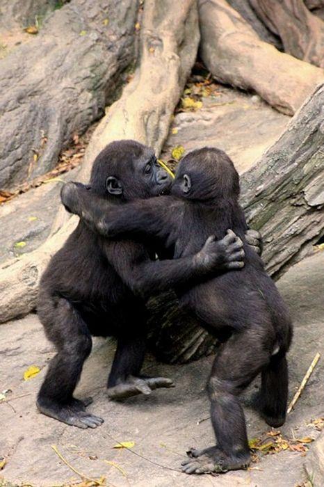 kissing-apes
